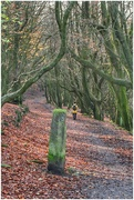 13th Nov 2018 - I love this avenue of trees, especially in autumn