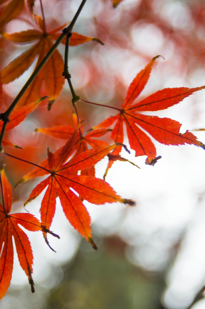 Maple leaves by blueace