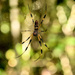 Banana spider by danette