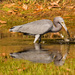 Little Blue Heron After the Poke!