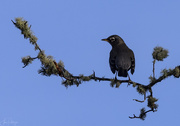 14th Nov 2018 - Crow On a Lichen Branch