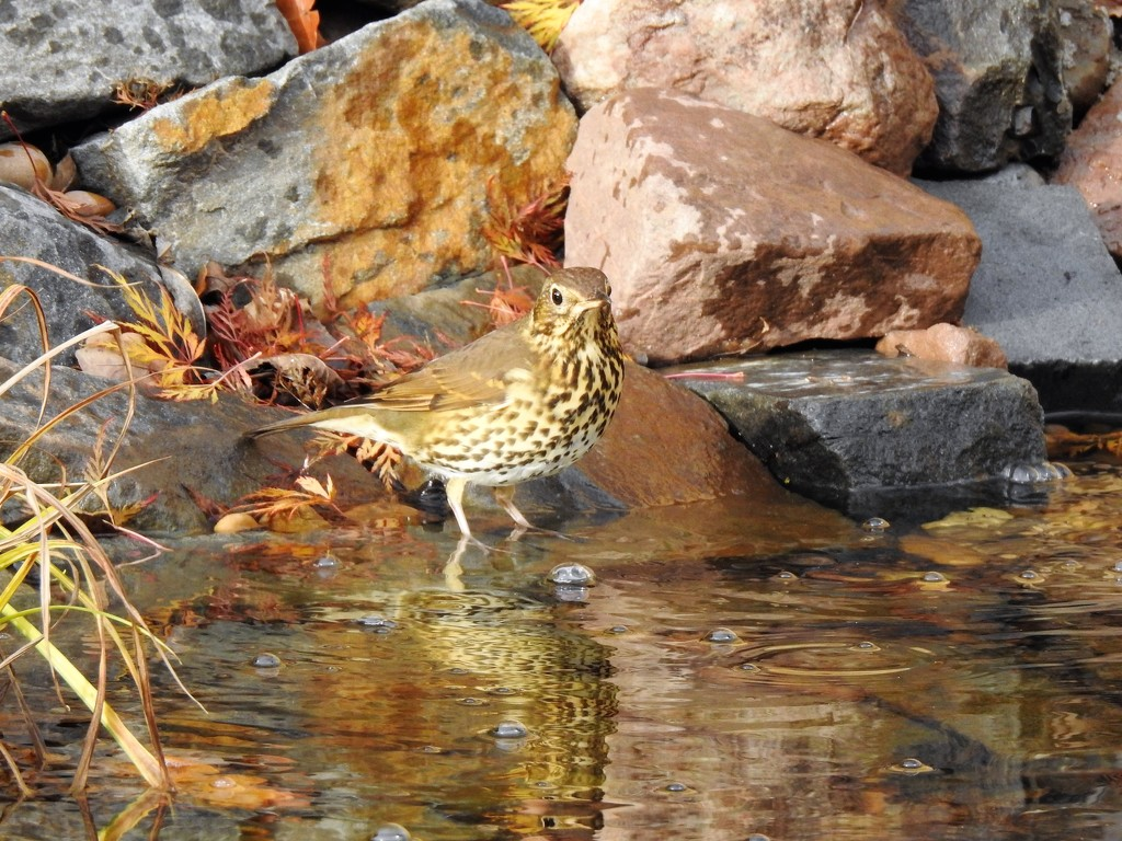 A Songthrush by susiemc