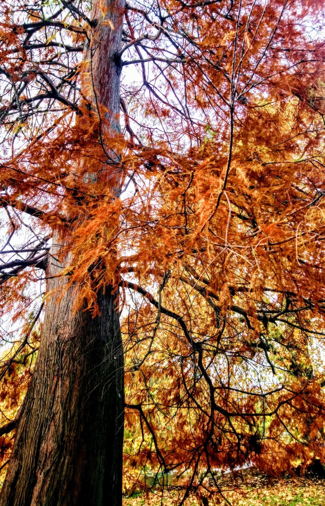 Swamp cypress by boxplayer
