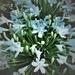 White Agapanthus ~