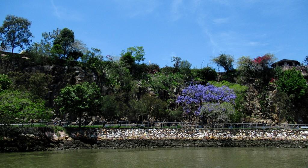 Jacaranda season  by robz