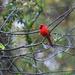 Cardinals Like Rain
