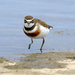 New Zealand banded dotterel by maureenpp