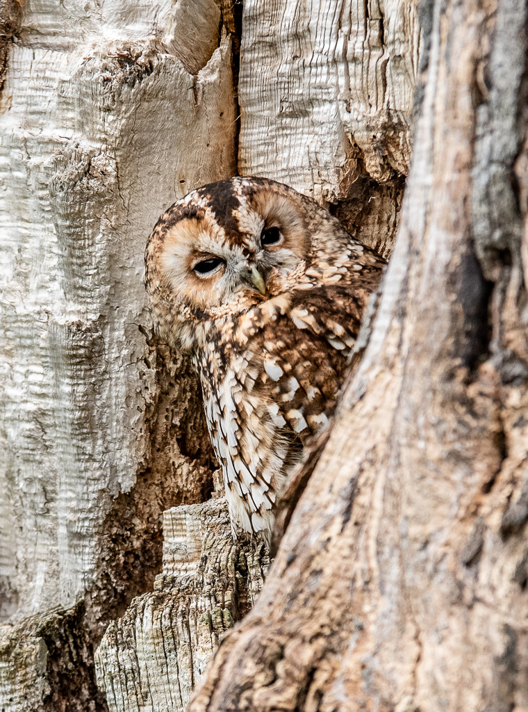 Tawny owl in tawny tree by inthecloud5