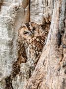 14th Nov 2018 - Tawny owl in tawny tree