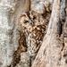 Tawny owl in tawny tree