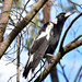 Magpie on a wattle branch