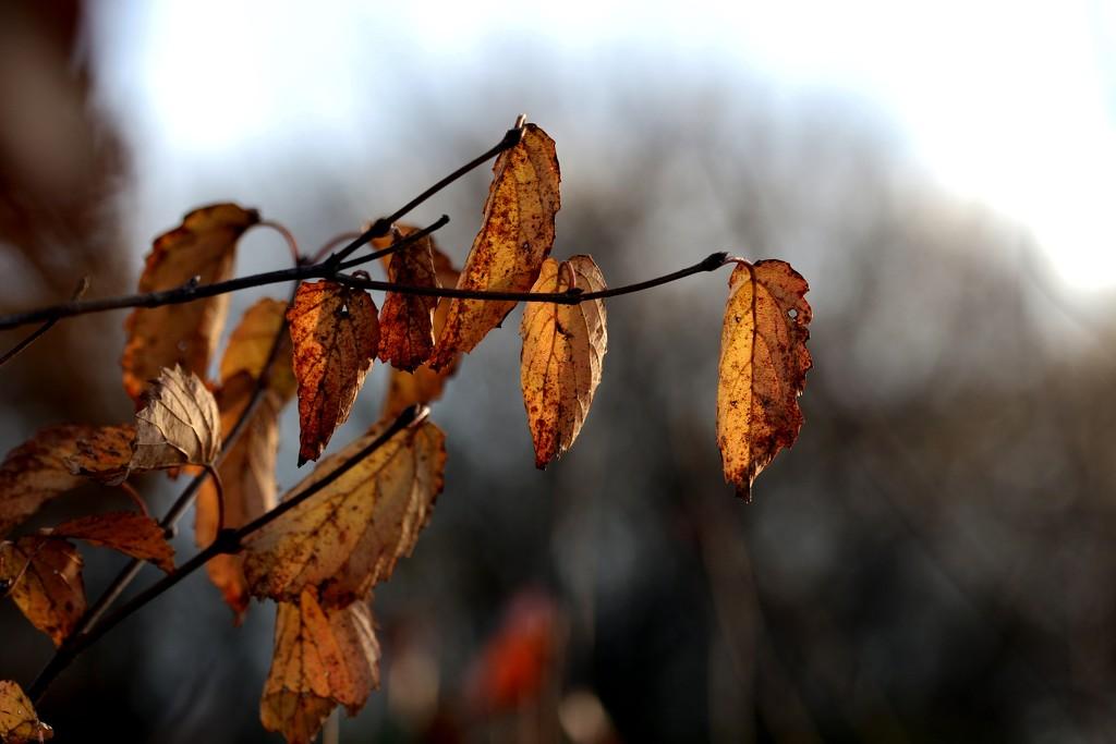 Brown Leaves by lynnz