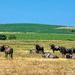 A herd of Gnu (Wildebeest)