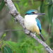 sacred kingfisher by koalagardens