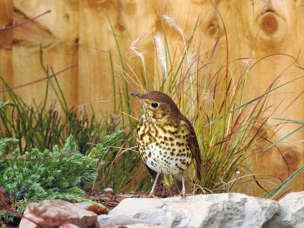 The Same Thrush by susiemc