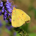 Orange Sulphur [Filler]