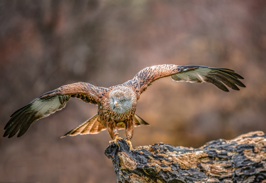 Red kite by inthecloud5