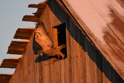 13th Nov 2018 - Great Horned Owl Leaps from Barn