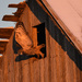 Great Horned Owl Leaps from Barn by kareenking