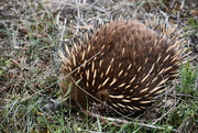16th Nov 2018 - Wild Echidna