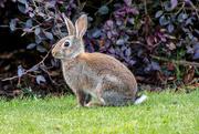 17th Nov 2018 - Brazen Bunny