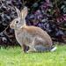 Brazen Bunny by yorkshirekiwi