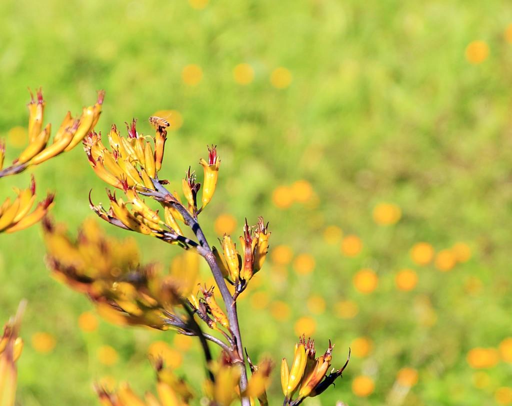 Buttercup bokeh - and a bee by kiwinanna