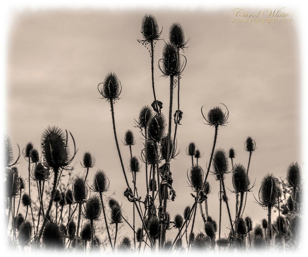 Teasels by carolmw