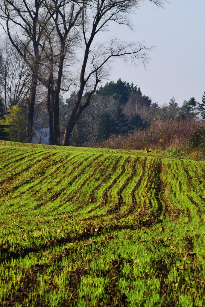 striped fields by ianmetcalfe