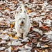 Finlay in the fallen leaves by pamknowler