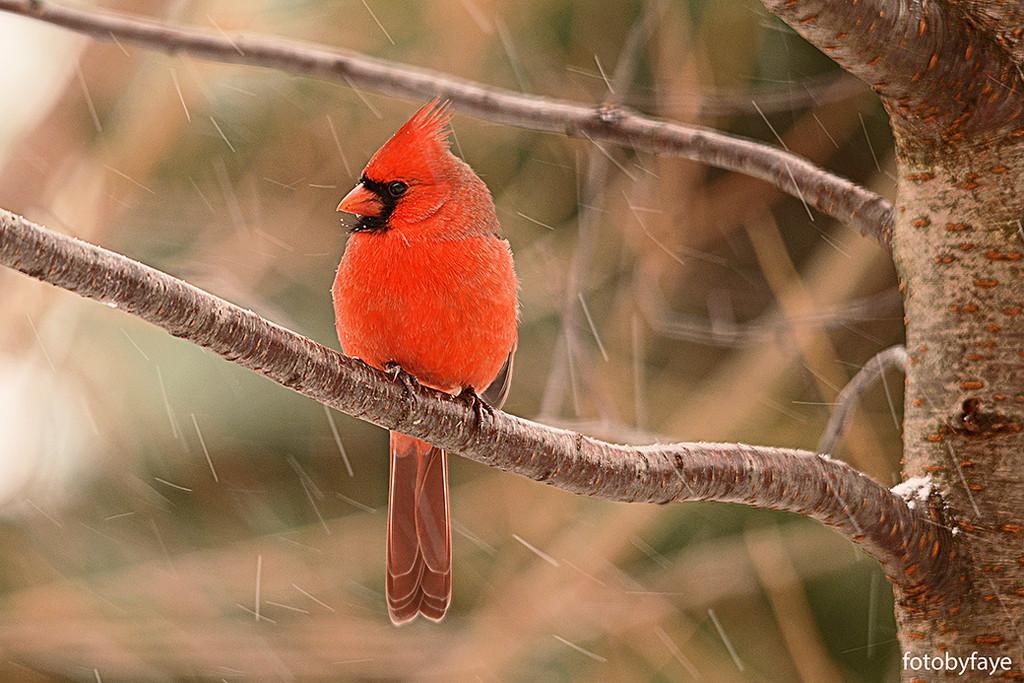 Red Cardinal! by fayefaye