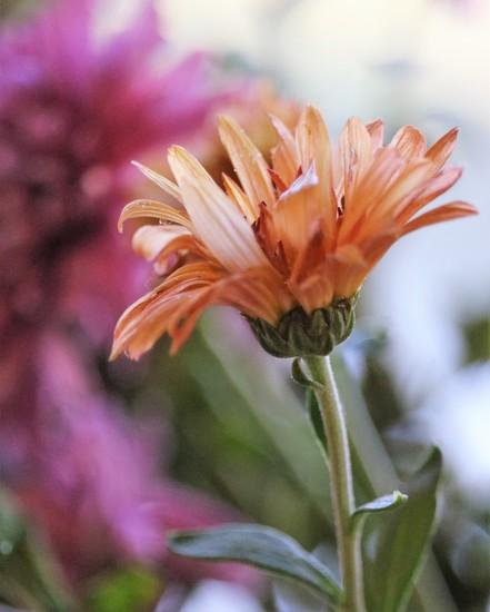 November 17: Mums by daisymiller