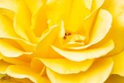 18th Nov 2018 - Yellow Rose