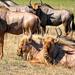 A group of Golden Gnu