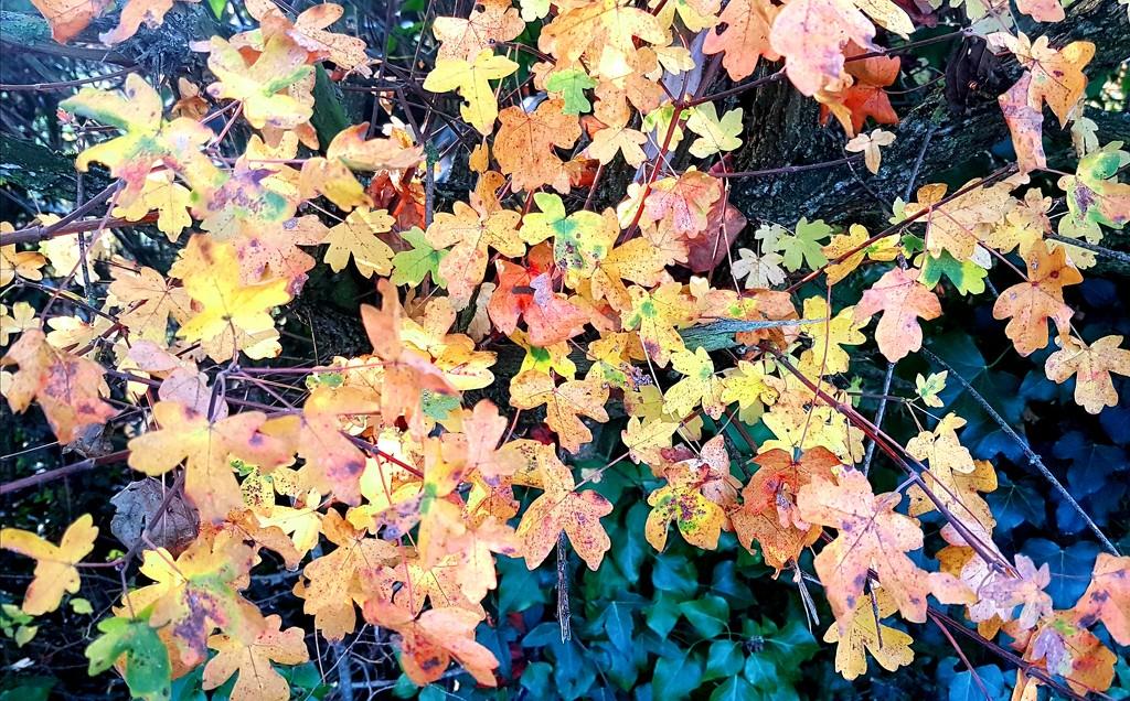 Field Maple by julienne1