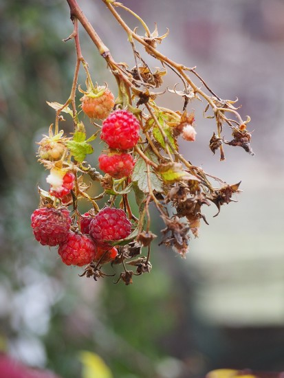 Still eating raspberries! by s4sayer