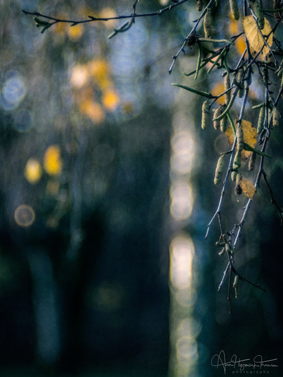 Fall bokeh and the birch tree... by atchoo
