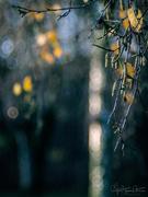 16th Nov 2018 - Fall bokeh and the birch tree...