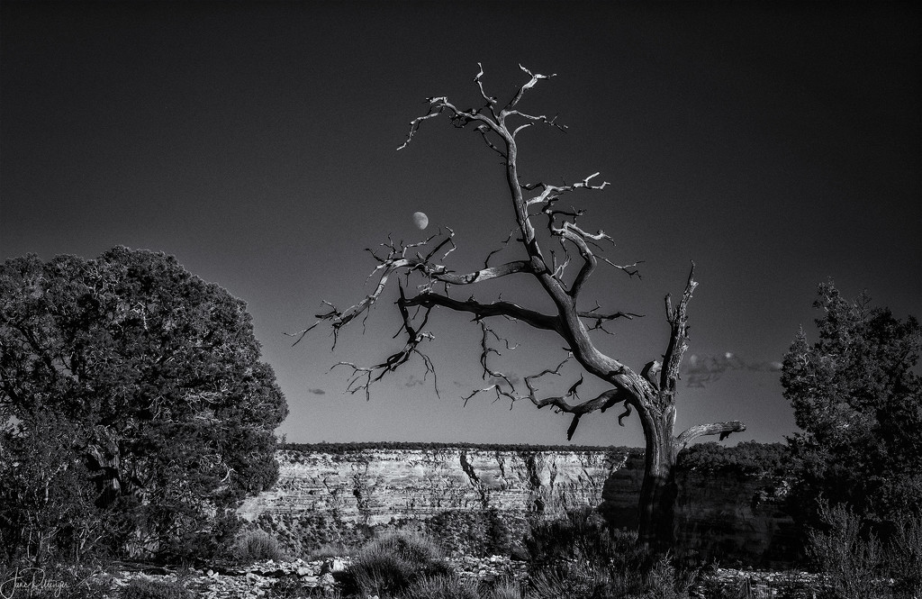 Snag and Moon  by jgpittenger