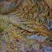 Hosta Texture