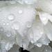 White peony in the rain by maureenpp