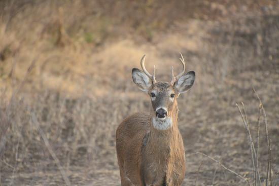 Curious Buck by kareenking