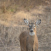 Curious Buck by kareenking
