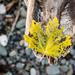 Beachy Leaf