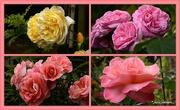 20th Nov 2018 - Yvonnes Roses...