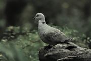 28th Oct 2018 - Dove/Pigeon
