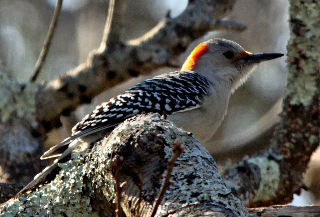 Last in the red-bellied woodpecker series. by sailingmusic