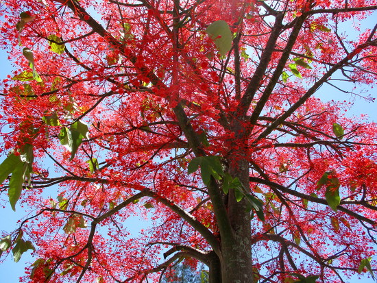 Looking up into The Flame Tree by 777margo