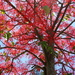 Looking up into The Flame Tree on 365 Project