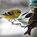Finch Tales